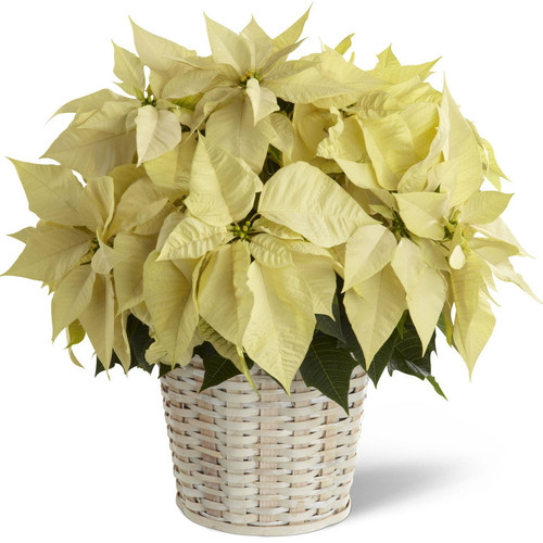 Double White Poinsettia Basket