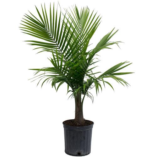 Majasty Palm