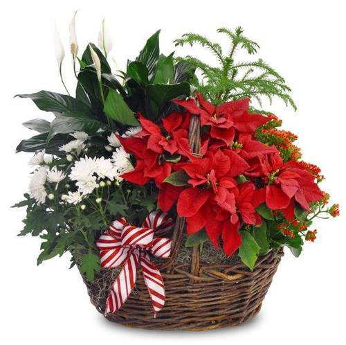 Methodist Blooming Poinsettia Basket
