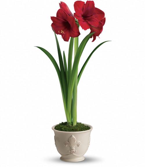 Bright Amaryllis ~ Potted Plant