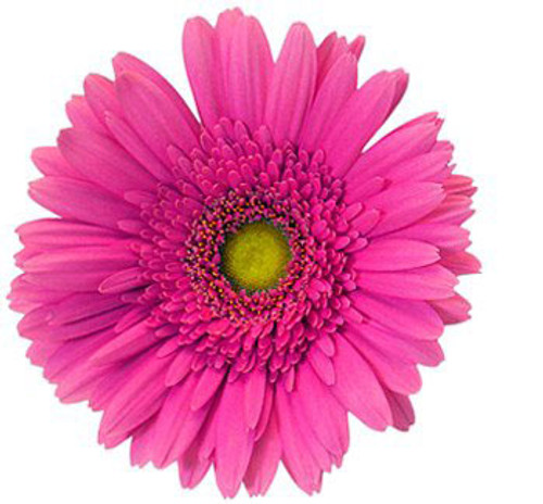 Gerbera Daisy 12 Stem Minimum