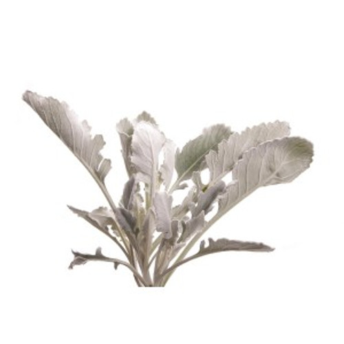 Dusty Miller 10-15 Stems per Bunch