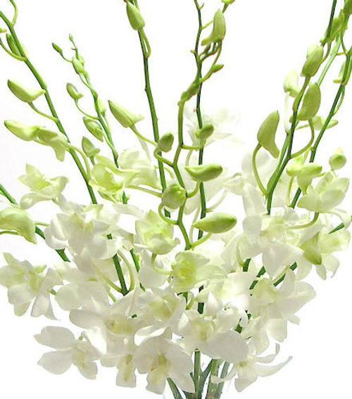 Dendrobium Orchids 10 Stem Bunch Minimum