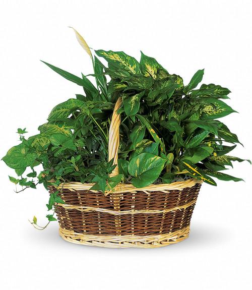 Large Basket Garden of Hardy Green Plants