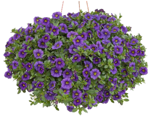 Outdoor Hanging Petunia Basket- Local Delivery Only