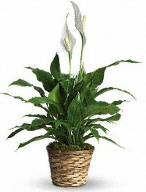 Methodist Simply Elegant Spathiphyllum