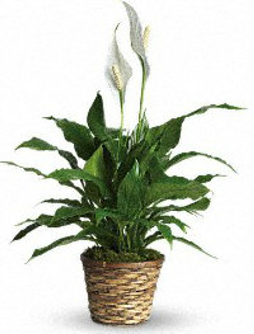 Methodist Simply Elegant Spathiphyllum