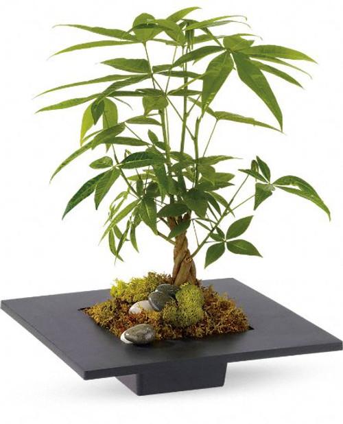 Methodist Money Tree Plant