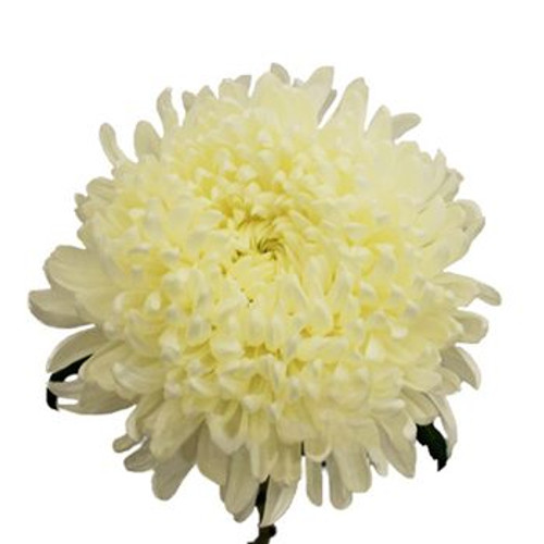 Football Mum- 10 Single Stems  LOCAL/MPLS DELIVERY ONLY