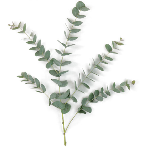 Eucalyptus - Assorted Varities -Sold Per Bunch  LOCAL/MPLS DELIVERY ONLY