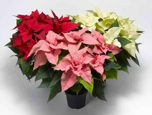 ***Holiday Poinsettia  Plant~ Your Way!~