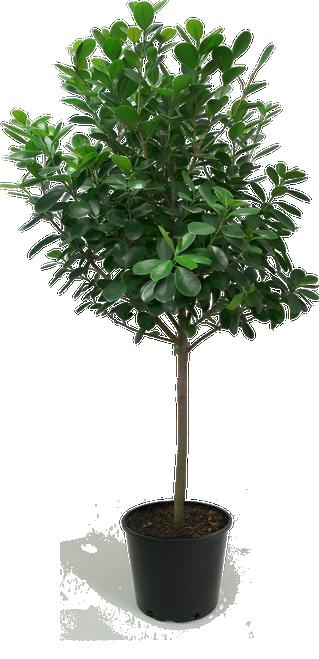 Ficus Moclame Standard Floor Plant