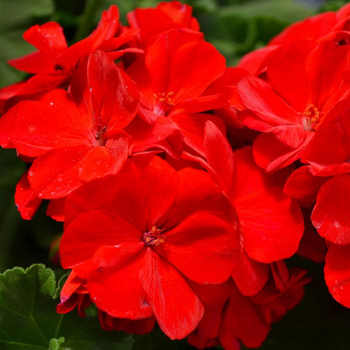 """13""""  Outdoor Geranium W/Spike Patio Pot  