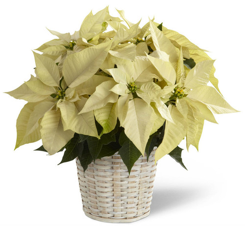 Single White Poinsettia Basket