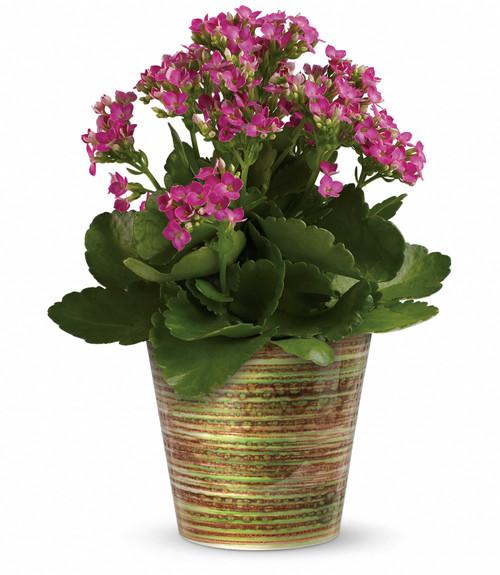 Pink Kalanchoe Blooming Plant
