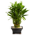 Lucky Bamboo Planter - Custom Made