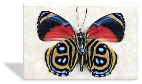 Callicore Butterfly Greeting Card