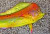 Funky Mahi Mahi 72 Half Mount Fiberglass Fish Replica