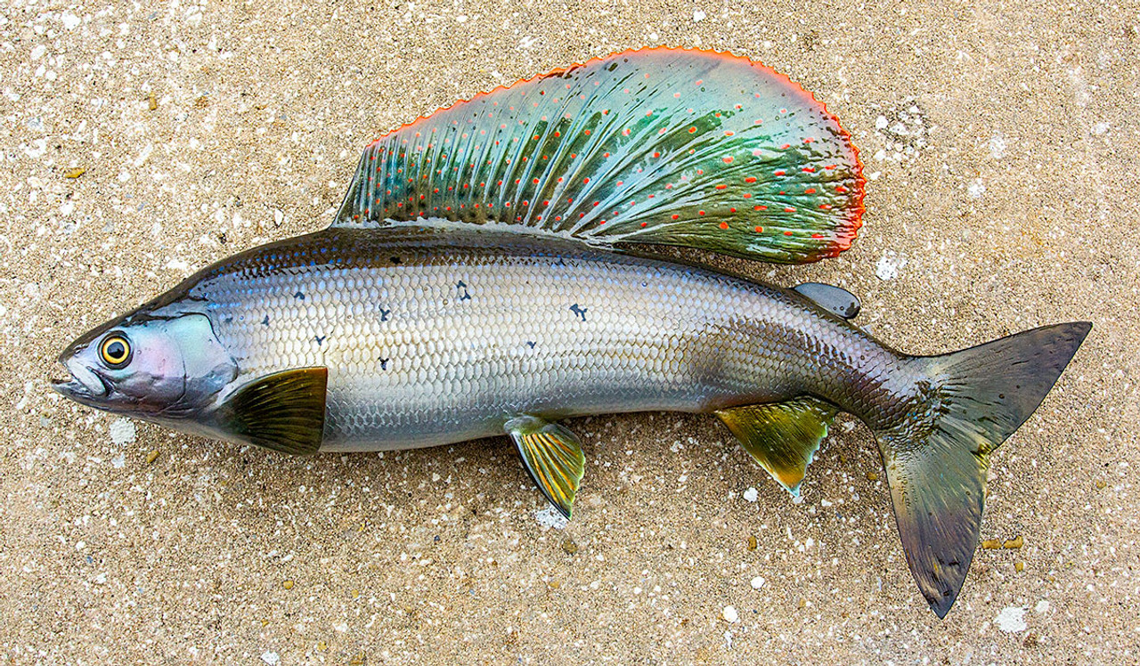 Arctic Grayling 18L inch fiberglass fish mount replica taxidermy