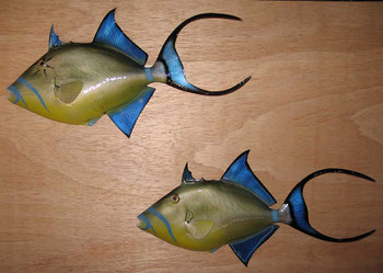 Queen Triggerfish fiberglass fish replica