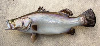 Barramundi fiberglass fish replica