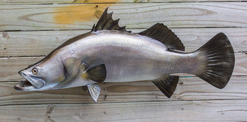 Barramundi 32 inches Full Mount Fiberglass Fish Replica