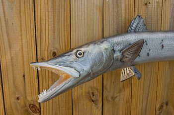 Barracuda fiberglass fish replica