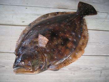 Flounder 28 inch half mount fiberglass fish replica