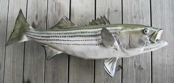 Striped Bass 41 inch full mount fiberglass fish replica - also Striper, Rockfish
