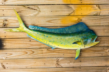 Mahi Mahi fiberglass fish replica