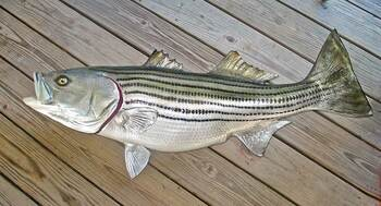 Striped Bass 48 inch full mount fiberglass fish replica - also Striper, Rockfish