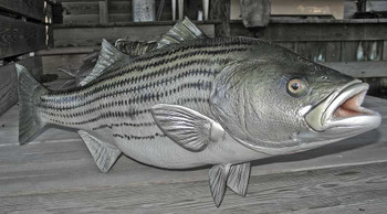 Striped Bass 34 inch full mount fiberglass fish replica - also Striper, Rockfish
