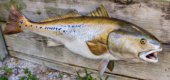 Redfish, Red Drum, Channel bass fiberglass fish replica