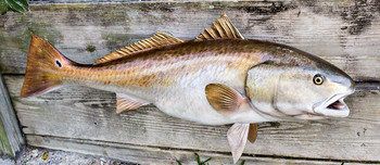 Redfish 42 inch full mount fiberglass fish replica