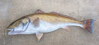 Redfish, Red Drum, Channel Bass fiberglass replica