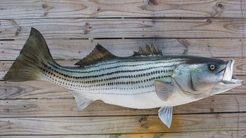 Striped Bass fiberglass fish replica