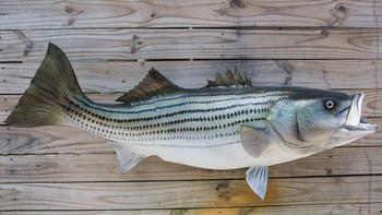 Striped Bass fiberglass fish replica