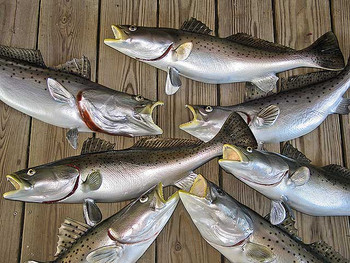 Many Sizes Available - Seatrout