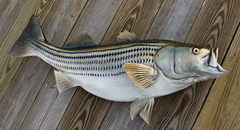 Striped Bass 38 inch full mount fiberglass fish replica - also Striper, Rockfish
