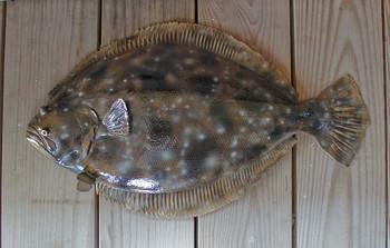 Flounder 26 inch half mount fiberglass fish replica