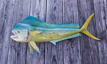 Mahi Mahi 40 inch full mount fiberglass fish replica