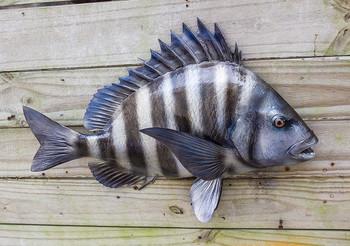 Sheephead fiberglass fish replica