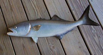 Bluefish 29 inch Half Mount Fiberglass Fish Replica