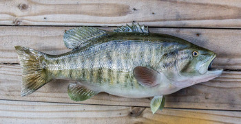 Smallmouth Bass 22 inch Full Mount Fish Replica