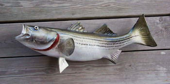 Striped Bass 29 inch full mount fiberglass fish replica - also Striper, Rockfish