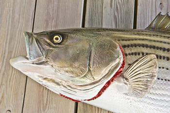 Striped Bass 51 inch full mount fiberglass fish replica - also Striper, Rockfish