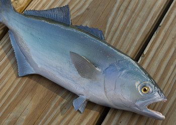 Bluefish 13 inch Full Mount Fiberglass Fish Replica