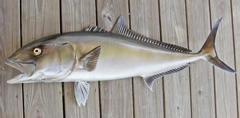 Amberjack 49 inch Half Mount fiberglass fish replica