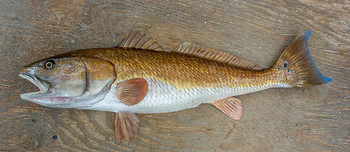 Redfish fiberglass fish replica