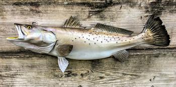 Seatrout, speckled trout fiberglass replica
